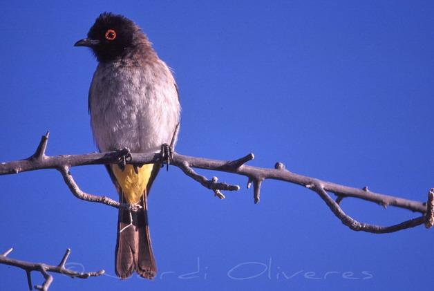 Bulbul d'ull vermells africà (Pycnonotus nigricans)