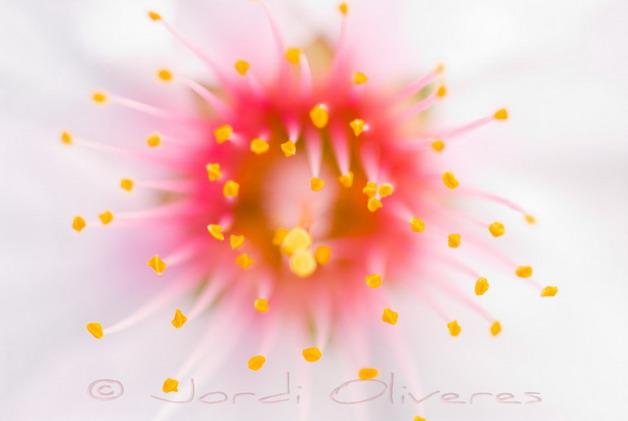 Flor d'ametller (Prunus dulcis)