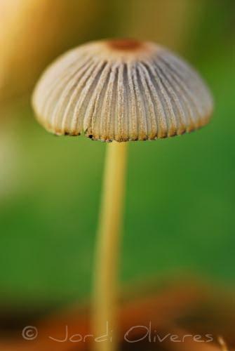 Parasola leiocephala