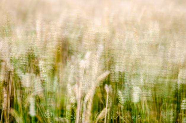 Camp de blat 1