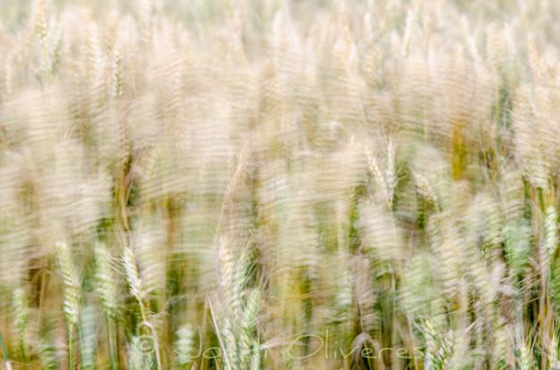 Camp de blat 3